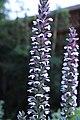 Acanthus mollis IMG 0100.jpg