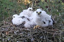 Three fluffy, white chicks in a nest