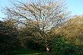 Acer cissifolium JPG1d.jpg