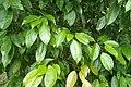 Acer oblongum kz01.jpg