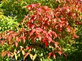 Acer triflorum fall leaves.jpg