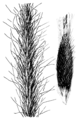 Achnatherum robustum (as Stipa vaseyi) HC-1950.png