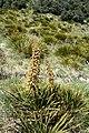 Aciphylla aurea kz15.jpg