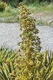 Aciphylla colensoi in Mount Cook National Park 06.jpg