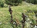 Aconitum napellus fruit (05).jpg