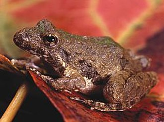 Northern cricket frog - Acris crepitans blanchardi