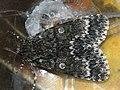 Acronicta megacephala - Poplar grey - Стрельчатка серая (41011642342).jpg