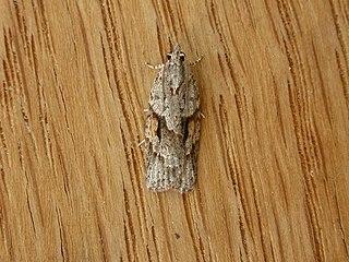 <i>Acropolitis rudisana</i> species of insect