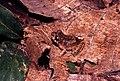 Adenomera sp.jpg