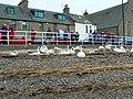 Admiring the swans - geograph.org.uk - 1752775.jpg