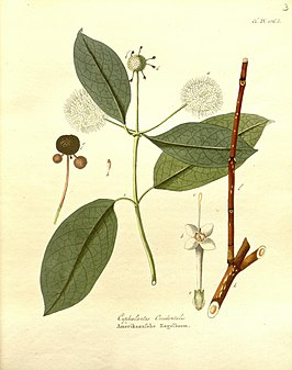 Cephalanthus occidentalis (1802)