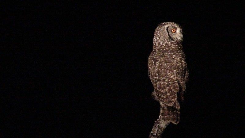 File:African Owl by Night.JPG