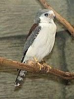 African Pygmy Falcon 002.jpg