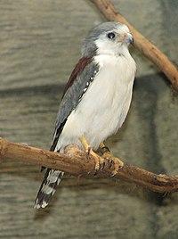 African Pygmy Falcon 002