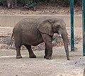 African bush elephant (091243350).jpg