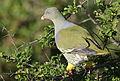 African green pigeon, Treron calvus, Kruger main road near Punda Maria turn-off, Kruger National Park, South Africa (26212565265).jpg