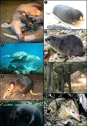 Afrotheria - 1. Aardvark 2. Dugong 3. Black and rufous elephant shrew 4. West Indian manatee 5. Golden mole 6. Rock hyrax 7. African bush elephant 8. Tailless tenrec