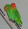 A pair of Red Faced Lovebirds, two mainly green parrots with the orange-headed female seen in profile and the red-headed male looking at the viewer