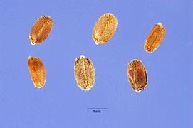 Agastache urticifolia seeds.jpg