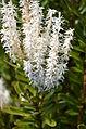 Agastachys odorata - Proteaceae.JPG