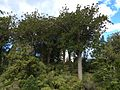 Agathis australis Waiau Kauri Grove Coromandel.JPG