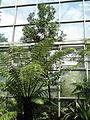 Agathis ovata - Palmengarten Frankfurt - DSC01879.JPG