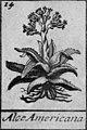 Agave Americana prima della classificazione di Linneo.jpg