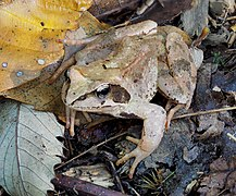 Agile frog (Rana dalmatina).jpg