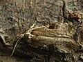 Agonopterix alstroemeriana - Poison hemlock moth (25982909567).jpg