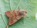 Agrochola helvola - Flounced chestnut - Пухоногая совка жёлто-красная (27235905538).jpg