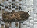 Agrotis segetum - Turnip moth - Совка озимая (40370130004).jpg