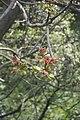 Ailanthus altissima-3410.jpg