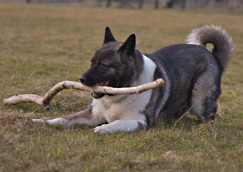 File:Akita playing.jpg