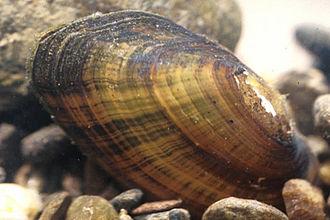 Freshwater mollusc - Freshwater bivalve Alasmidonta raveneliana