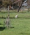 Albino Kangaroo, Australia.jpg