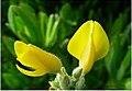 Alecrín ou flor do toxo, Galicia (Spain).jpg