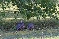 Alectoris rufa, Amboise, Indre-et-Loire, France 6.jpg