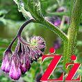 Alfabet roślin - literka Ż.jpg