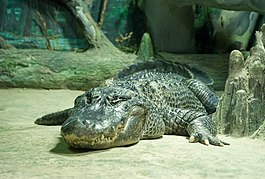 Alligator mississippiensis.jpg