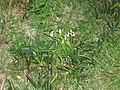 Allium triquetrum L. (AM AK292259-1).jpg