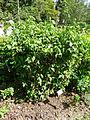 Allophyllus cobbe-Jardin botanique de Kandy (2).jpg