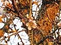 Almendro en Flor (4325805202).jpg