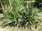 Aloe barbedeuse-Jardin botanique de Kandy.jpg
