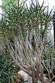Aloe dichotoma ssp ramosissima pm.jpg