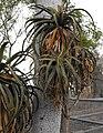 Aloepluridens.jpg