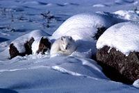 Fjällräv i vinterpäls