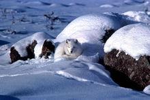 Volpe polare ben nascosta tra la neve.