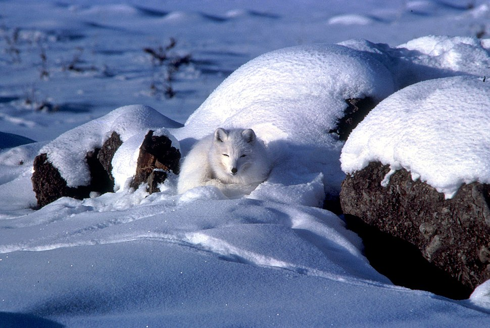 Alopex lagopus coiled up in snow