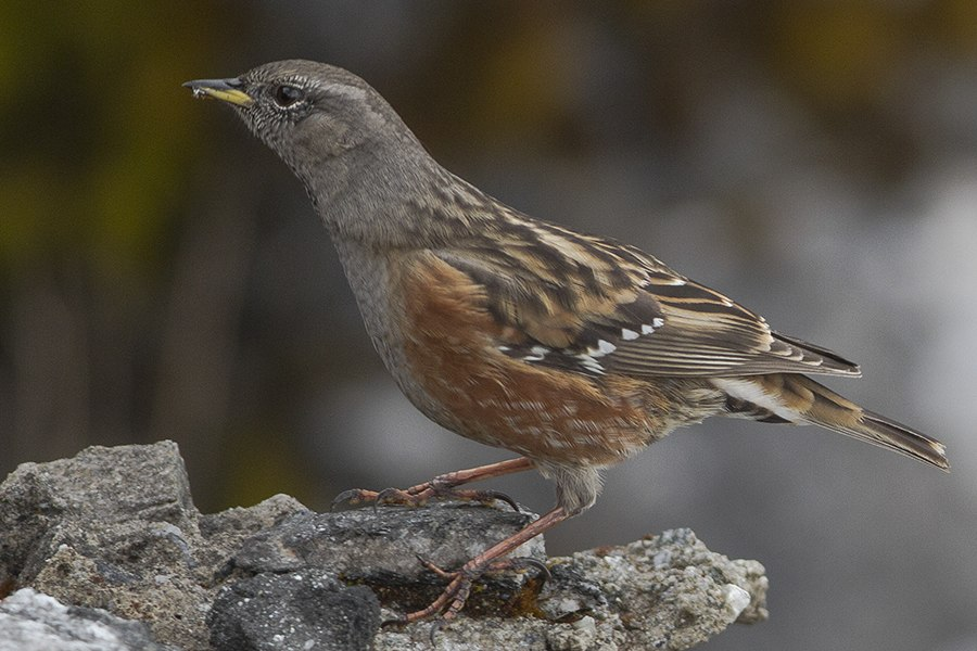 Alpine Accentor Lungthu Pangolakha WLS East Sikkim India 08.11.2015