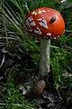 Amanita muscaria (29458970493).jpg